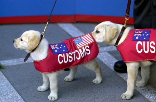 customs_dog